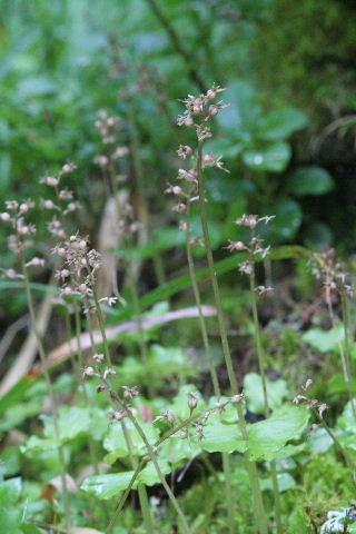 Neottia cordata (Listère cordée) Lis_310