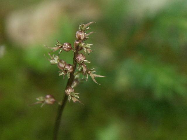 Neottia cordata (Listère cordée) Lis_510