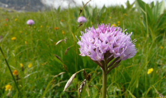 Traunsteinera globosa  ( Orchis globuleux ) Trauns10