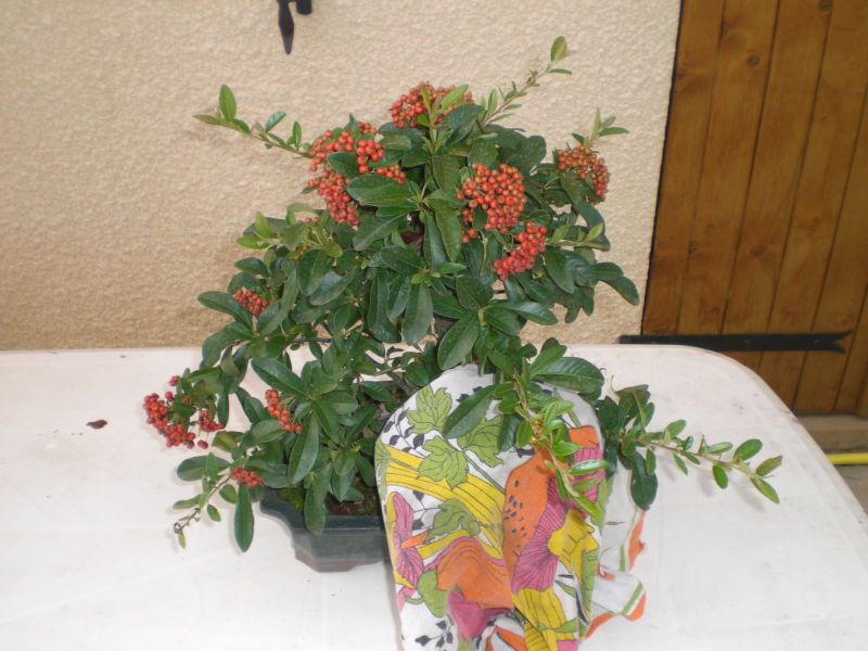 Taille sur pyracantha.... Cimg1312