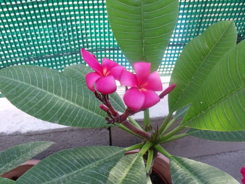 Pluméria en Fleurs Plumar18