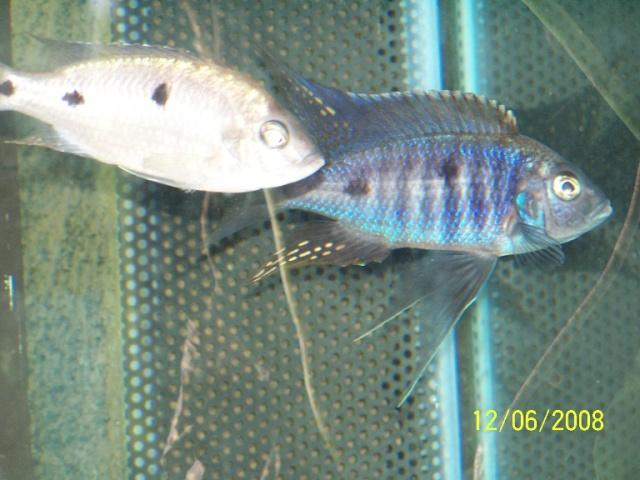 blue - Copadichromis blue night Mloto Photo_14