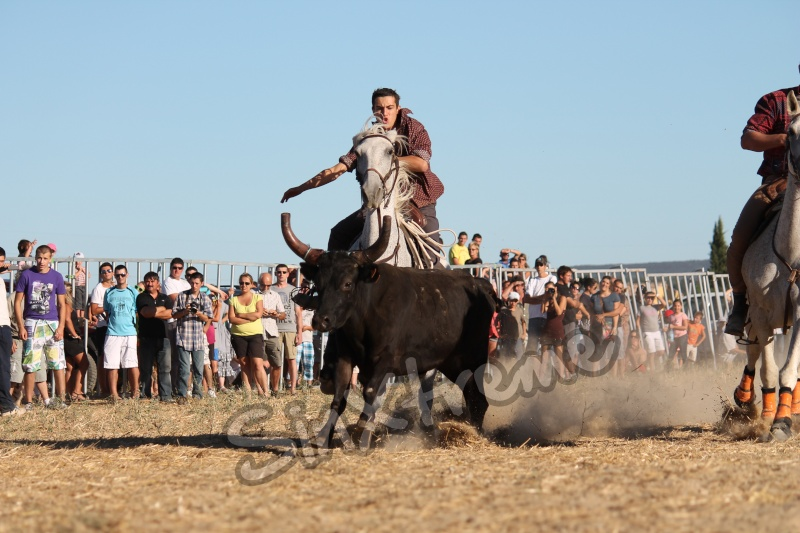 CANAULES 2012 Cow_bo10