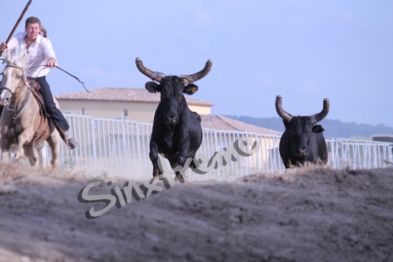 CANAULES 2012 Vaches10