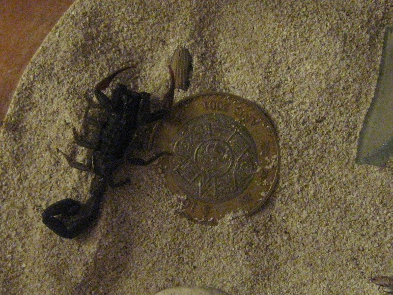 What type of scorpion is this? Scorpi14