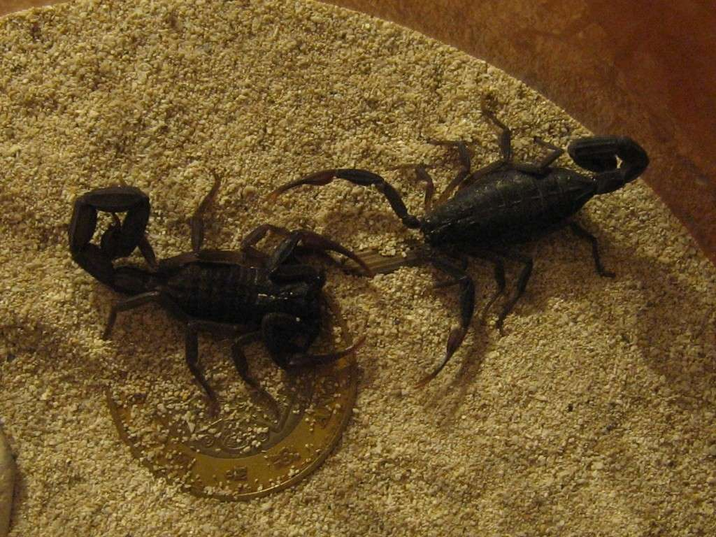 What type of scorpion is this? Scorpi16