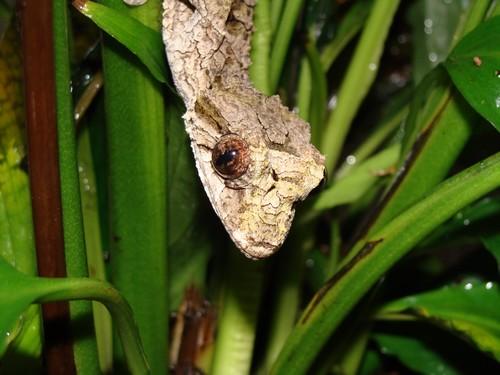 Gecko Belgium
