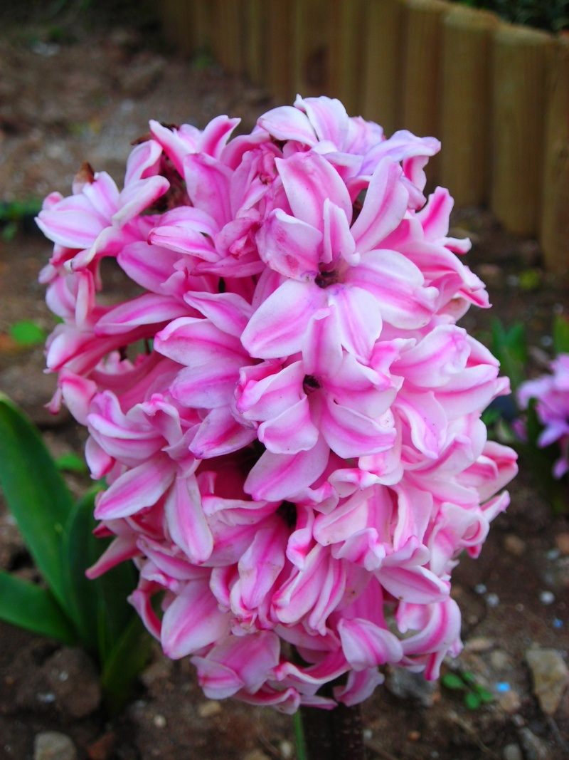 Nuestro jardín de Sa Possessió - Página 3 156_pe10