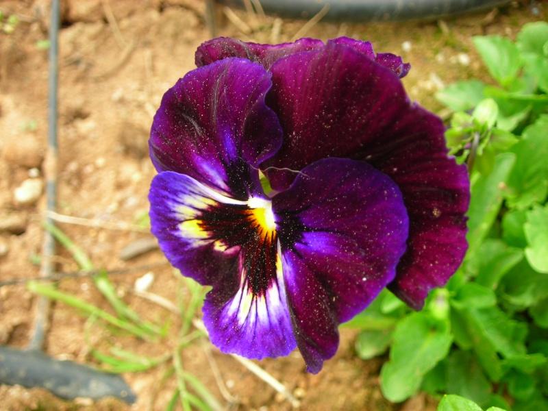 Nuestro jardín de Sa Possessió - Página 3 168_ca10