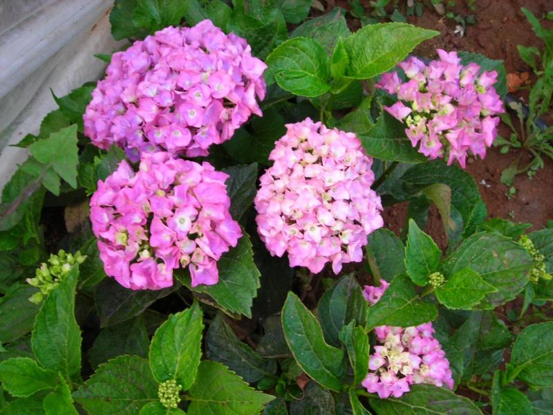 Nuestro jardín de Sa Possessió - Página 3 173_pl13