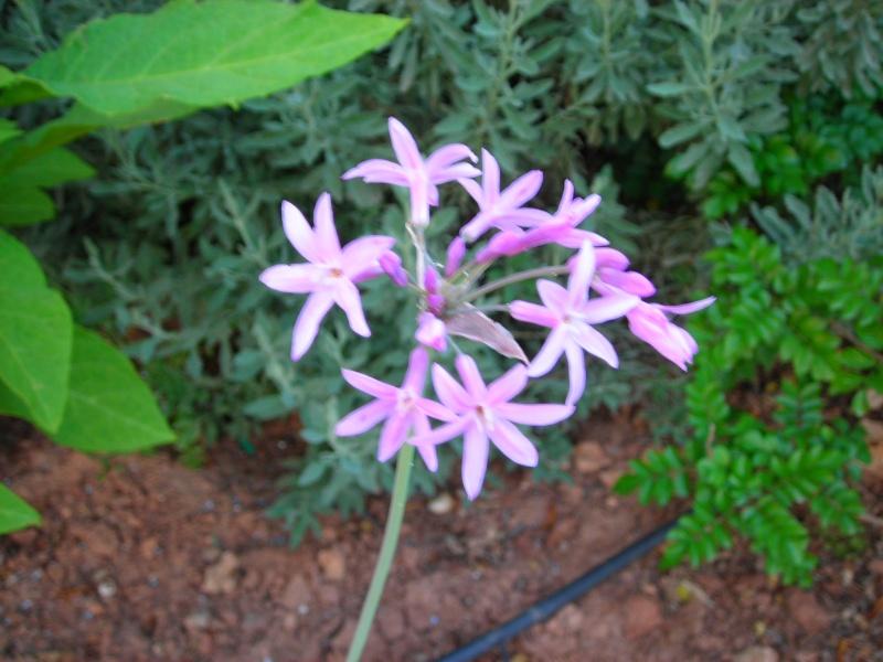 Nuestro jardín de Sa Possessió - Página 3 173_pl24