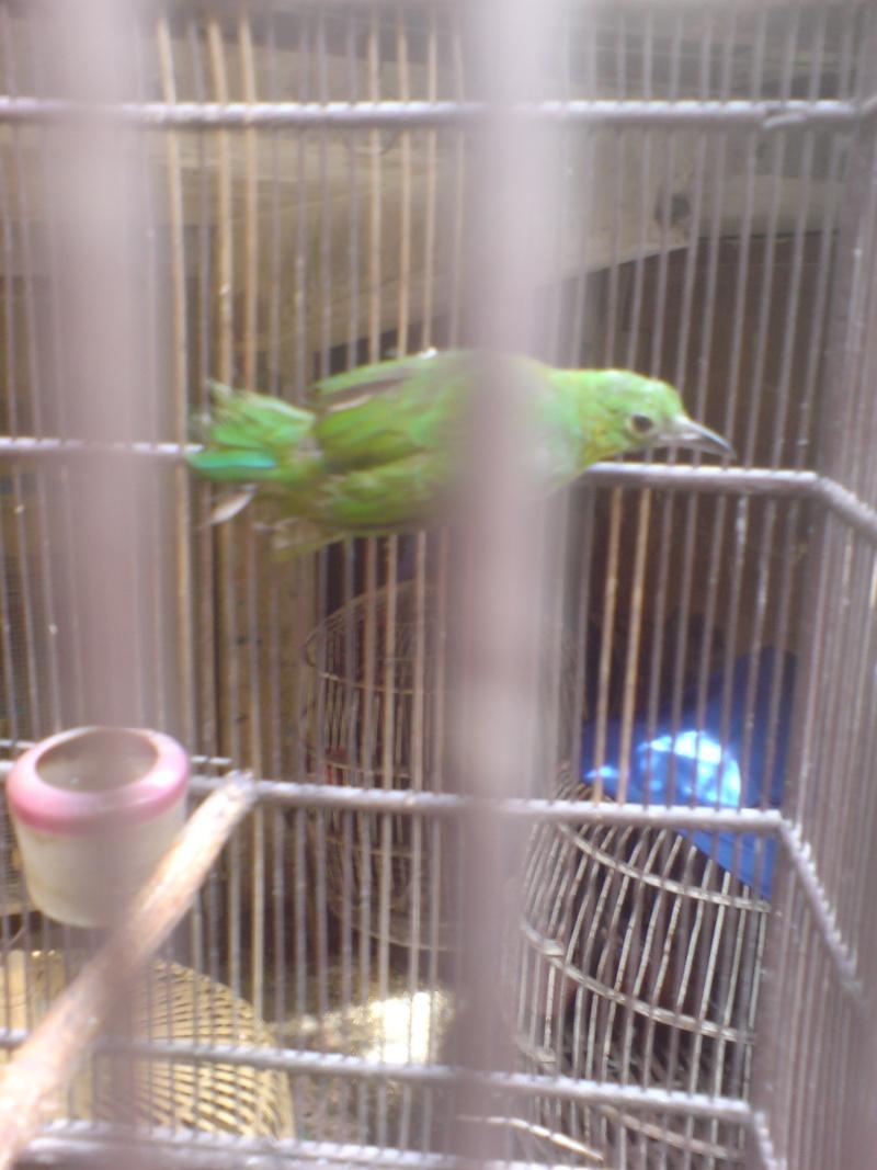 Oiseaux à Kuala Lumpur Dsc01511