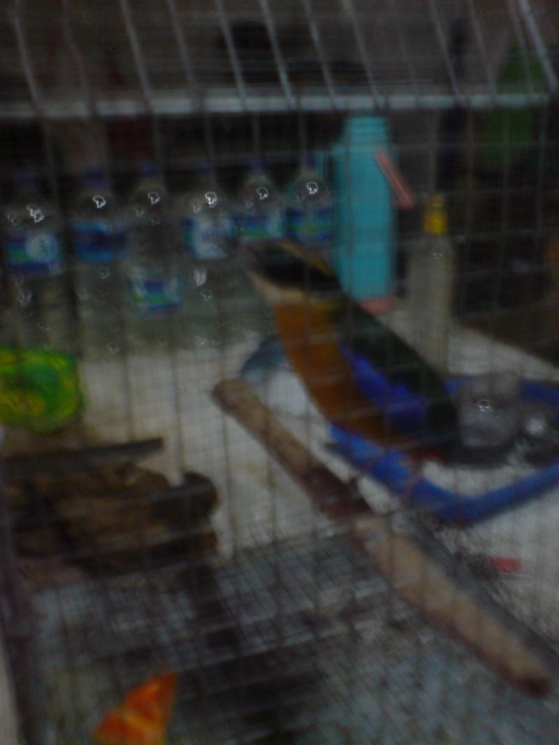 Oiseaux à Kuala Lumpur Dsc01512