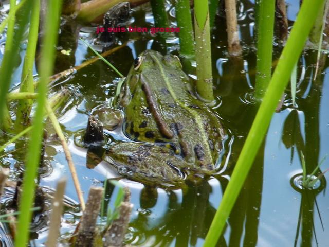 grenouille Chez_d11