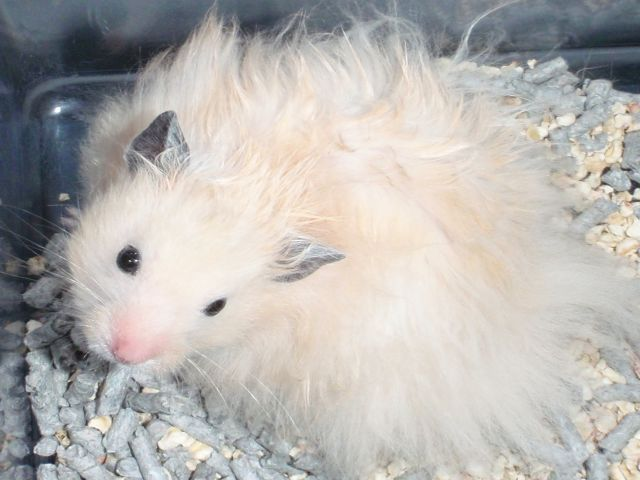 In remembrance: Samsam the super long haired solid cream black eyed male syrian hamster. Clipbo11