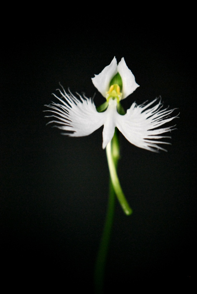 Our Japanese White Egret Orchid in flower Dsc_0010