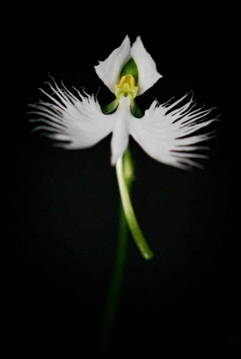 Our Japanese White Egret Orchid in flower Dsc_0011
