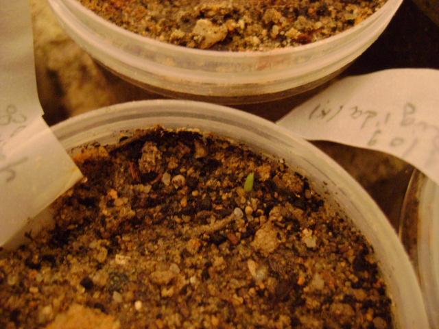 Echange graines de Yucca filifera Dsc01512