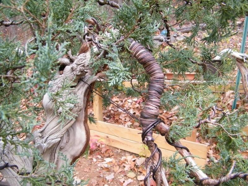 A collected Rocky Mountain Juniper Dscf0910