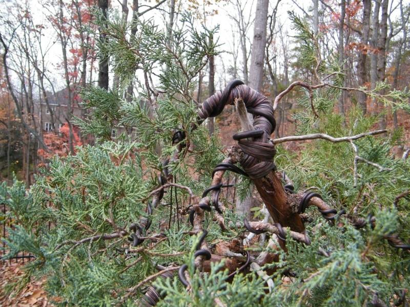 A collected Rocky Mountain Juniper Dscf0911