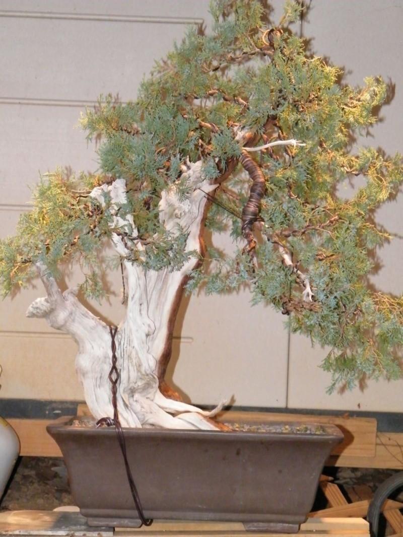 A collected Rocky Mountain Juniper Dscf0912