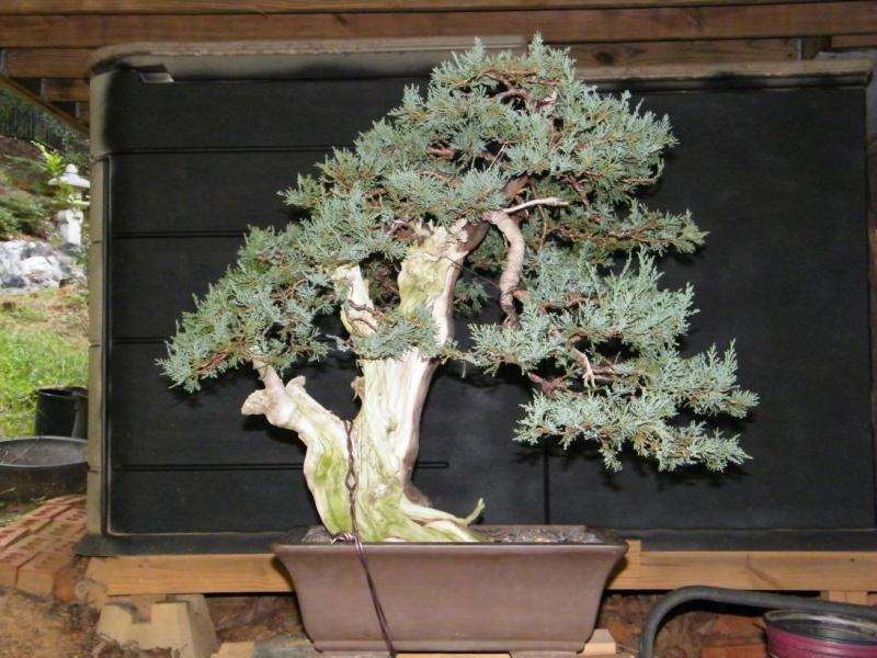 A collected Rocky Mountain Juniper Dscf1118