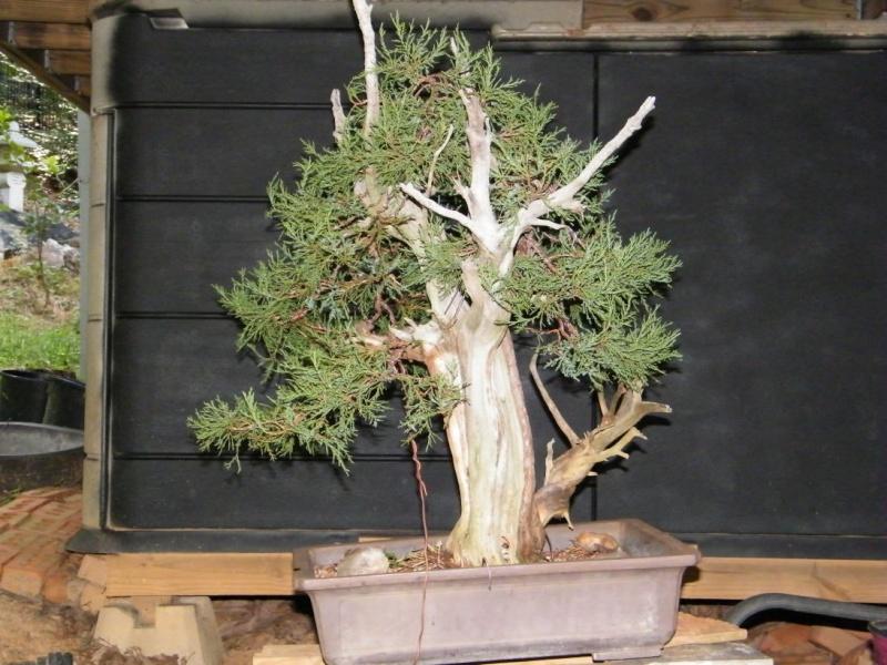 Deadwood Rocky Mountain Juniper Dscf1124