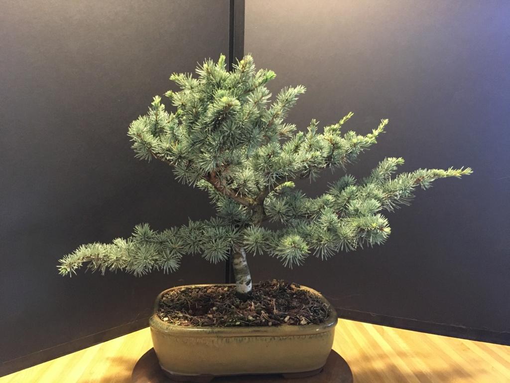 Blue Atlas Cedars - Cedrus atlantica 'glauca' 2019no10