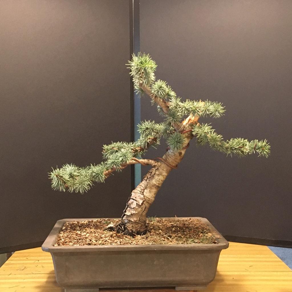 Blue Atlas Cedars - Cedrus atlantica 'glauca' 2019no13
