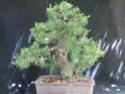 Scots Pine - Pinus Sylvestris 2013-511