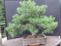 Scots Pine - Pinus Sylvestris 2020au10