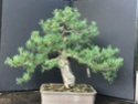Scots Pine - Pinus Sylvestris 2020au11