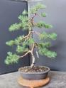 Scots Pine - Pinus Sylvestris 2020au12
