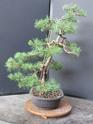 Scots Pine - Pinus Sylvestris 2020au13