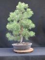 Scots Pine - Pinus Sylvestris 2020ju10