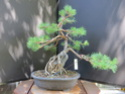 Scots Pine - Pinus Sylvestris 2020ju11