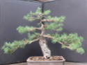 Scots Pine - Pinus Sylvestris 2020se10