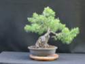 Scots Pine - Pinus Sylvestris 32_20210