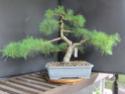 Scots Pine - Pinus Sylvestris 33-20210