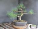 Scots Pine - Pinus Sylvestris 34-20210