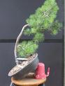 Scots Pine - Pinus Sylvestris 48-20210