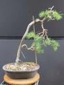 Scots Pine - Pinus Sylvestris 48-20211