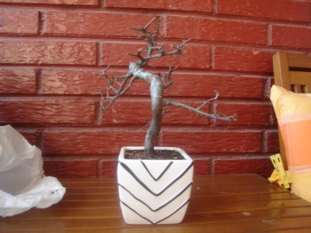 que le pasa a mi bonsai?! ayuda urgente! Dsc09110