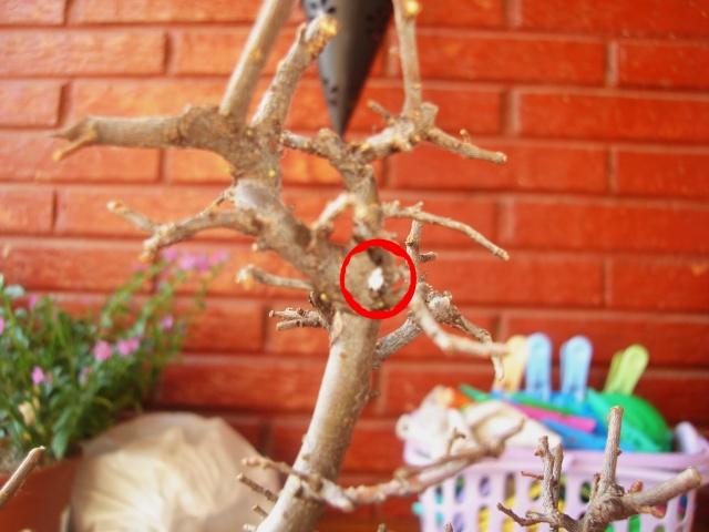 que le pasa a mi bonsai?! ayuda urgente! Dsc09111