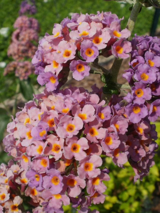 BUDDLEIA FLOWER POWER - Page 2 Flower13