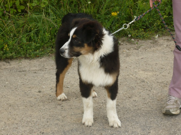 Fifty of fantasia collies 25618110