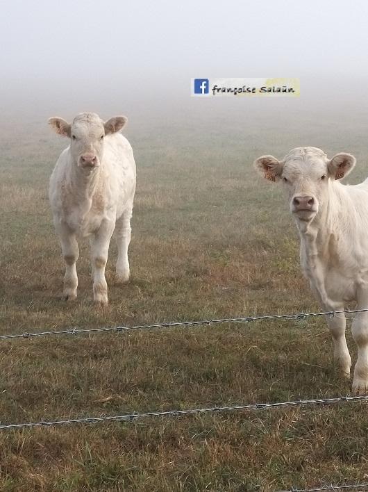 Message reçu d'une vache et son enfant 1_veau10