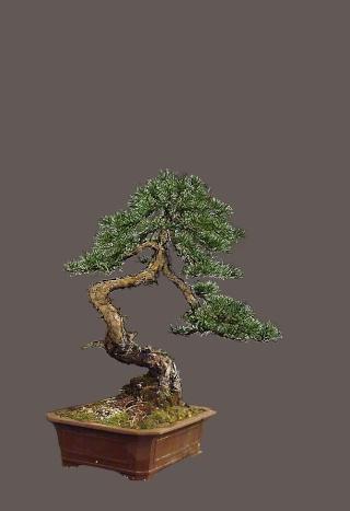 "Pinus sylvestris 2005 - ""Transformations "" Pavel410"