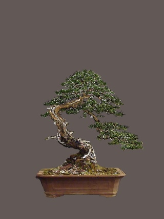 "Pinus sylvestris 2005 - ""Transformations "" Pavels10"