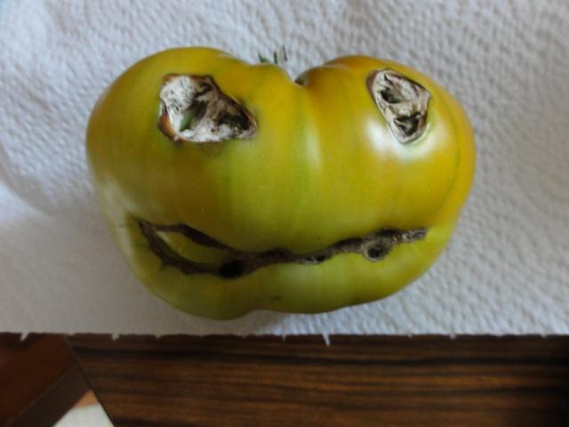 Quelques  tomates    du  jardin  ! Dsc07612